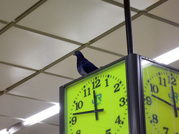 pigeon_on_clock