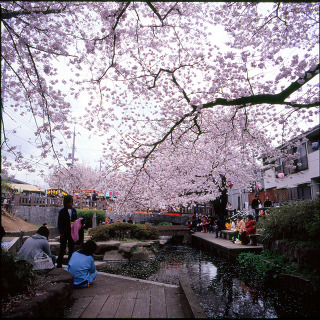 Riverbank_sakura1