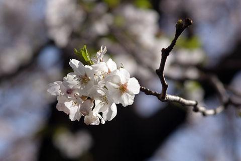 Sakura_up1
