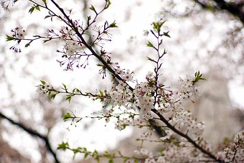 Sakura_2010_1